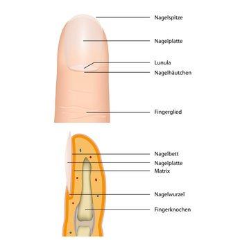 Anatomie des Fingernagels - Anatomie – Aufbau des Fingernagels